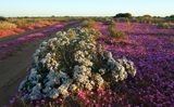 Picture relating to Carnarvon - titled 'Carnarvon - Coastal plain wild flower display'