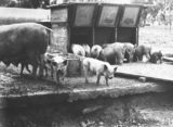 Picture relating to Federal Highway - titled 'Pigs at the feeding troughs at the Government hog farm, off the Federal Highway, Watson.'